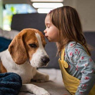 Dog with a cute caucasian baby girl. Beagle lying on sofa, baby comes and give a kiss in dogs forehead. Kids with dogs concept